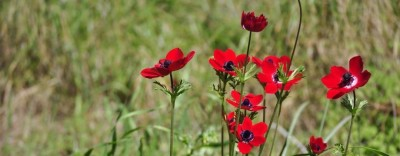 Mother's Day Flowers—Poppies for Remembrance